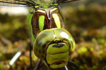 Scary Faced Dragon Fly by Gill Saunders