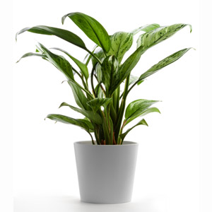 Chinese Evergreen Household Plant