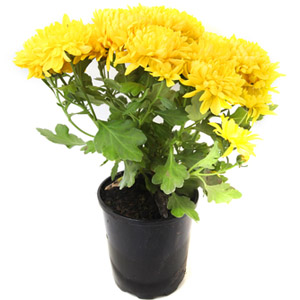 Chrysanthemum Household Plant