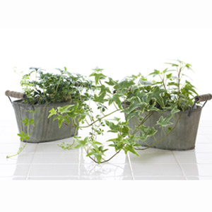 English Ivy Household Plant