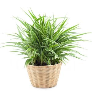 spider houseplant