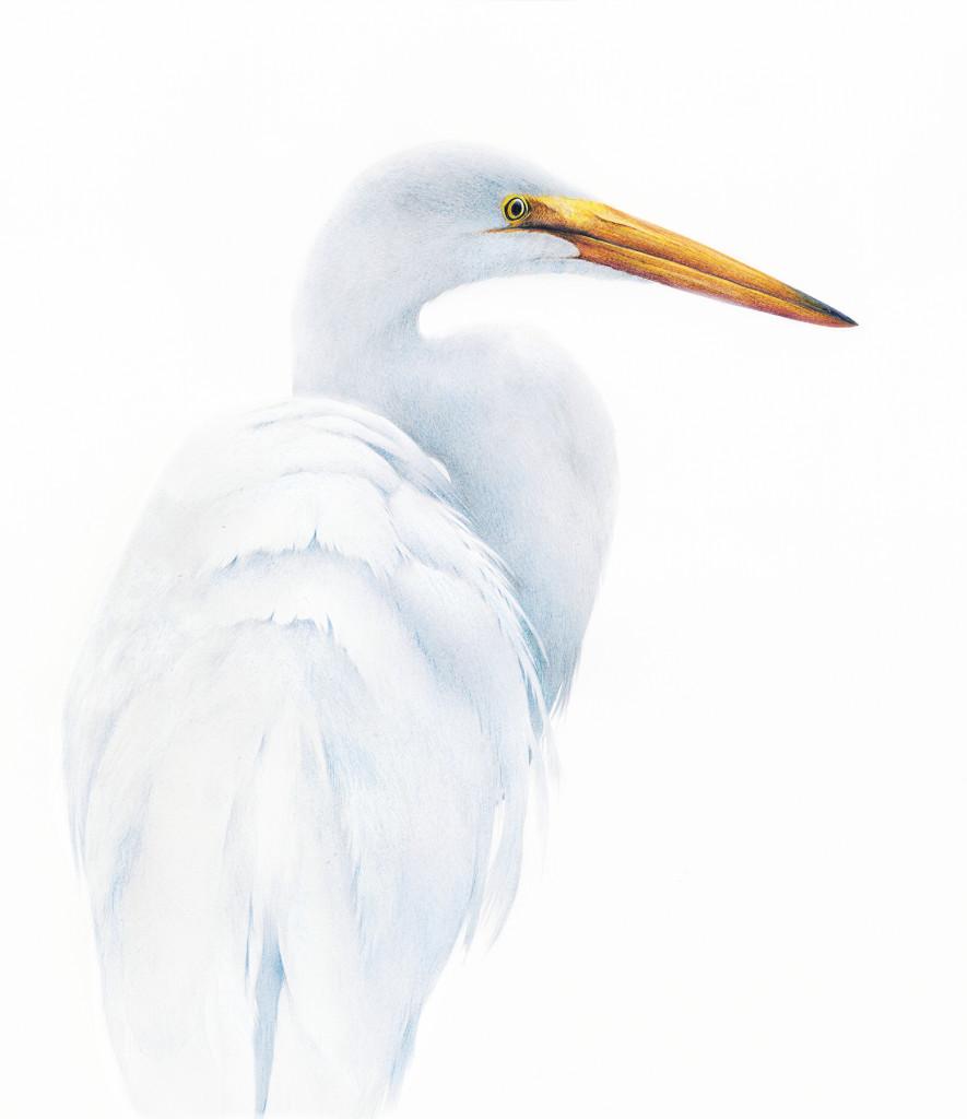 alan woollett great egret jpeg