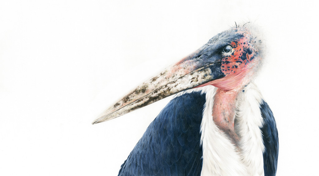 marabou stork mid res