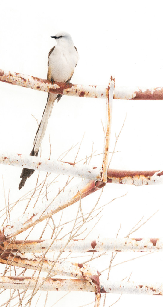 scissor tailed flycatcher mid res 300dpi