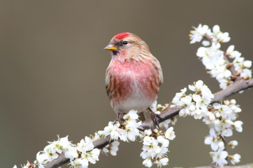 Redpoll on blossom by Paul Fisher