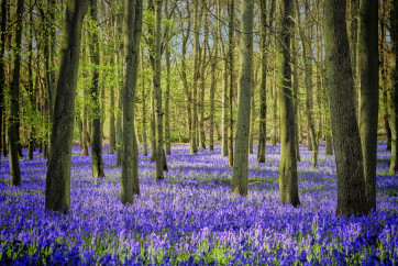 Bluebell Wood by Peter Nutkins