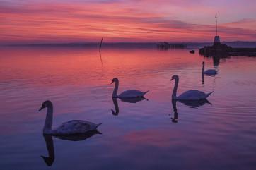 Sunset Swans Lough Neagh