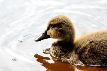 Little Lune Duckling by Ian Meeks