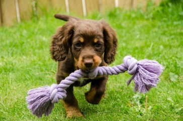 Myka doing her first retrieve at 10 weeks old by Lynne Tyler