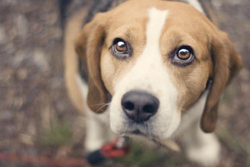 beagle_dog_looking_up