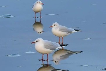 It's a Mirrorgull by Louise Elliot