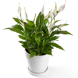 Peace-Lily potted