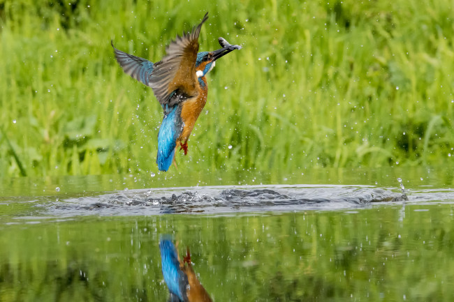002 Kingfisher out of Water  Bob Riach