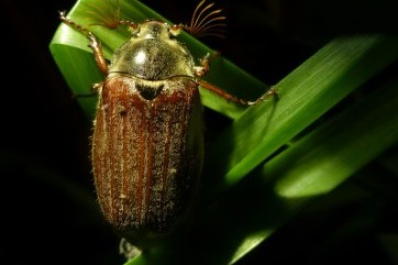 Midnight Rambler (a Maybug beetle on Dartmoor)