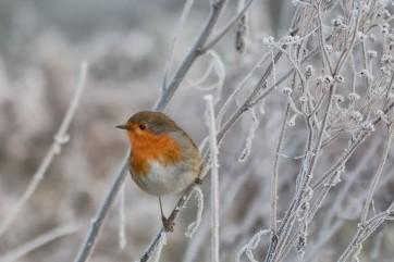 Robin on a frosty morning