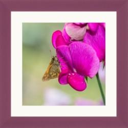 Butterfly on purple sweet pea