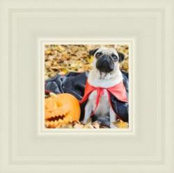 Pug next to pumpkin
