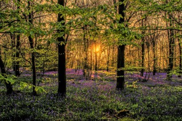 Bluebell Wood by Tim Clifton