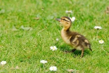 Quack Quack by William Richardson