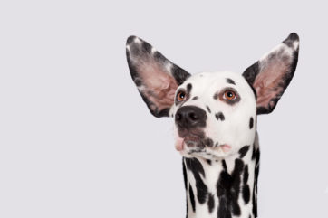 Dalmatian in photo studio with ears up